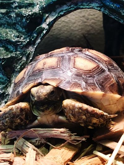 Tobias the Strong Animal Shell Tortoise One Animal Tortoise Shell No People Day Animal Themes Animals In The Wild Reptile Outdoors Close-up Sea Life Nature