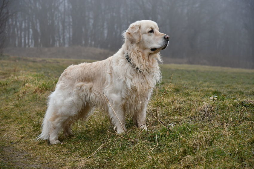 Dogs Dogs Of EyeEm Gassi Gehen Golden Golden Retriever Hund Dog Golden Retrievers Goldenretriver Hunde Hundefotografie Pet Pets Walkout