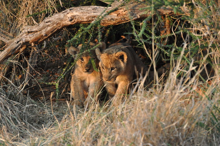 Lion cubs just awakening... Lion Cubs Madikwe Nature Nature Photography No People South Africa South Africa Is Amazing Wildlife Wildlife Photography Wildlife Photos