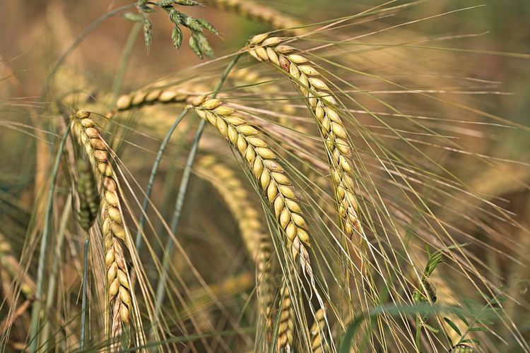 Crop  Plant Agriculture Cereal Plant Growth Field Close-up Focus On Foreground Land Nature Rural Scene Tranquility Beauty In Nature Selective Focus Beautiful Nature Beautiful Natural Beauty Scenics - Nature Beauty In Ordinary Things Walking Around Taking Pictures Lovely Naturelovers Nature_collection Nature Photography EyeEm Nature Lover EyeEm Gallery Eye4photography  Field Fieldscape