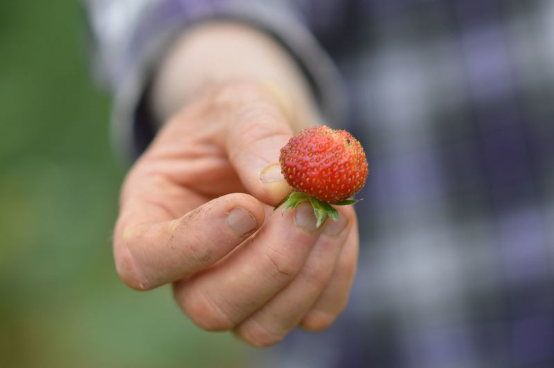 Cropped image of person holding strawberry