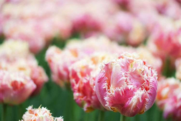Tulips 💐 Tulip Tulips Special Tulips Ornamental Garden Flower Arrangement Outdoors Botany Springtime Day Selective Focus Focus On Foreground No People Inflorescence Nature Flower Head Petal Growth Close-up Pink Color Vulnerability  Fragility Freshness Beauty In Nature Flower Flowering Plant Plant Vulnerability