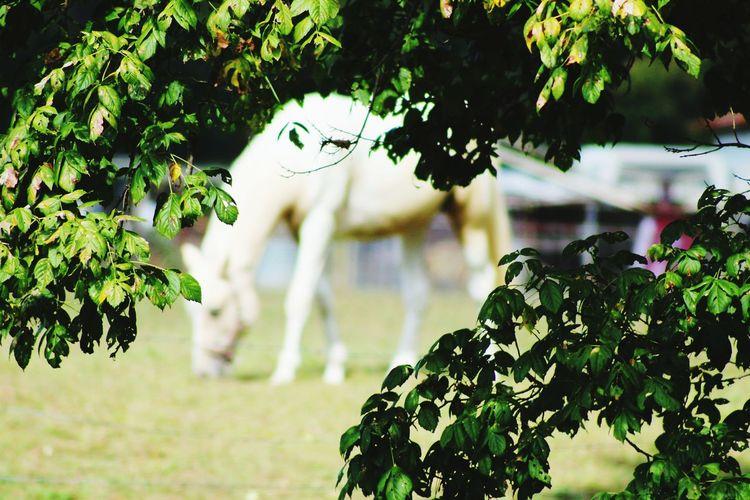 white horse Horse White Horse Portrait Countryside Country Life White Horse Portrait Tree Leaf Branch Close-up Plant Pony Mane