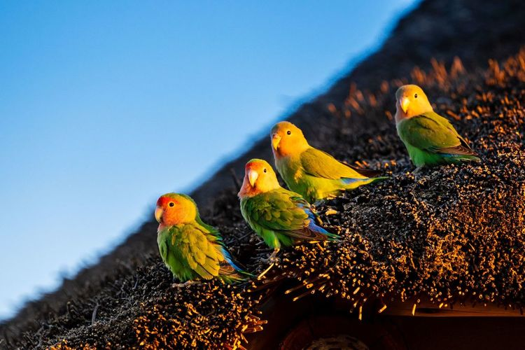 Close-up of parrots on roof