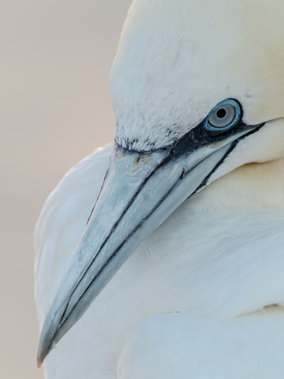 Gannet Gannets Basstölpel Basstölpel Auf Helgoland Beauty In Nature Bird Photography EyeEm Nature Lover Wildlife & Nature Animal Wildlife Bird Animals In The Wild Animal Themes Animal Vertebrate One Animal White Color No People Beak Nature Close-up Day Focus On Foreground Animal Body Part Animal Head  Animal Neck Outdoors Eye Looking Zoology Animal Eye