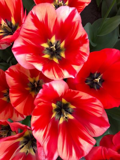 Keukenhof EyeEmNewHere Dutch Cities Flowering Plant Flower Petal Freshness Flower Head Inflorescence Close-up Beauty In Nature Plant Pollen Red