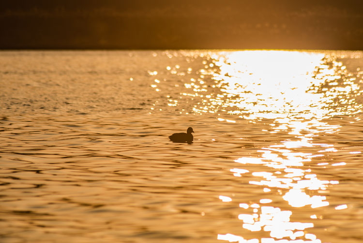 Animal Themes Animal Wildlife Animals In The Wild Beauty In Nature Bird Close-up Day Nature No People One Animal Outdoors Reflection Rippled Scenics Sunset Swimming Tranquil Scene Tranquility Water Waterfront