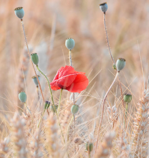 EyeEm Best Shots EyeEm Nature Lover Beauty In Nature Close-up Day Eyeyem Travel Collection Field Flower Flower Head Flowering Plant Focus On Foreground Food Fragility Freshness Growth Land Nature No People Outdoors Plant Plant Stem Poppy Red Selective Focus Vulnerability