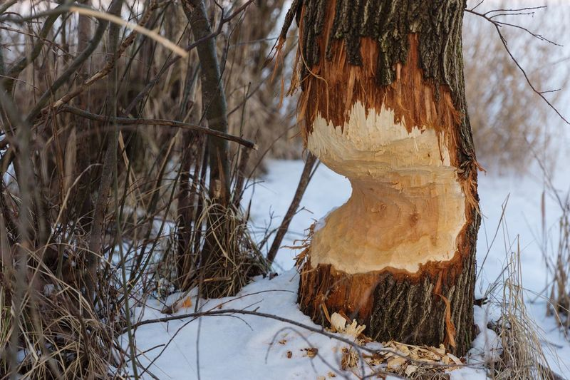 Another tree bitten by a beaver. Nature Snow Cold Temperature Winter Beauty In Nature Tranquility Outdoors Frozen No People Tree Bare Tree Day Beaver Animal Themes Animals In The Wild Beaver Work Tree Cold Beauty In Nature Tree Trunk Nature Winter Nature On Your Doorstep Nature Photography Animal Wildlife