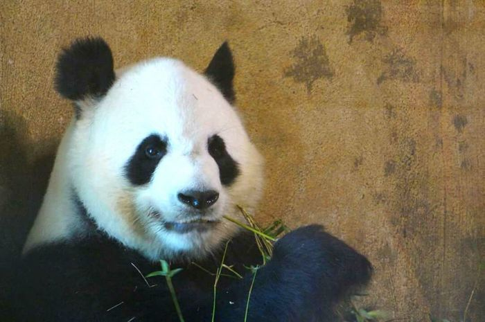One Animal Animal Themes Mammal Close-up Looking At Camera Portrait High Angle View No People Outdoors Day Nature Naturelovers Nature_collection Naturephotography Nature Beauty Panda Panda Bear Eating Time Zoo