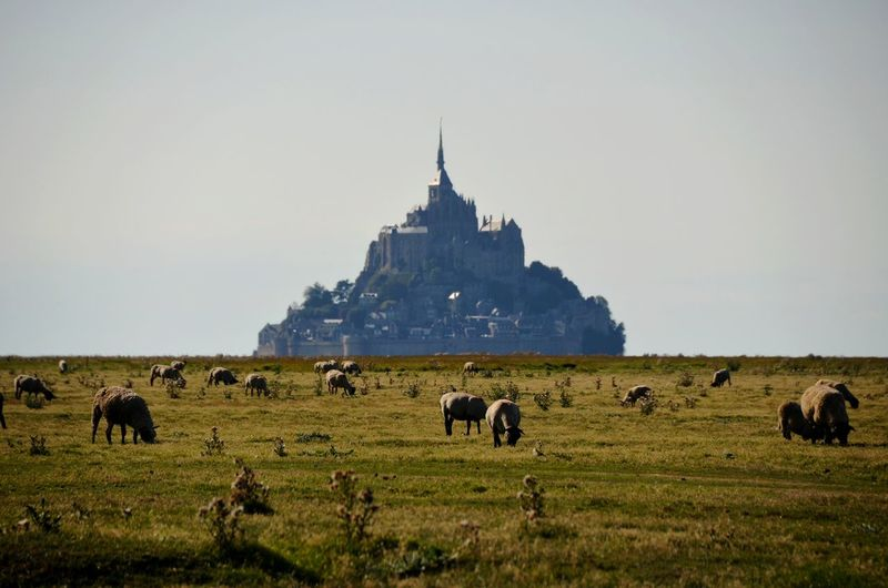 Mammals grazing in field against mont saint-michel