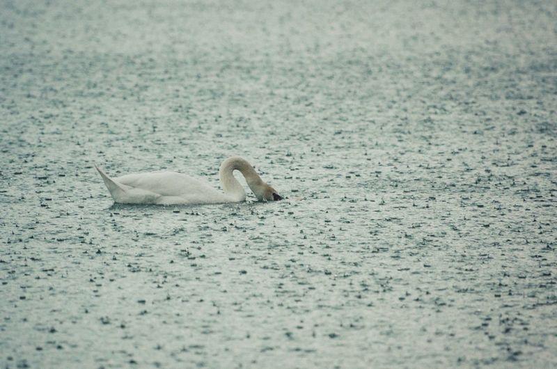 Swan Rain Raindrops Nikon 70-200mm