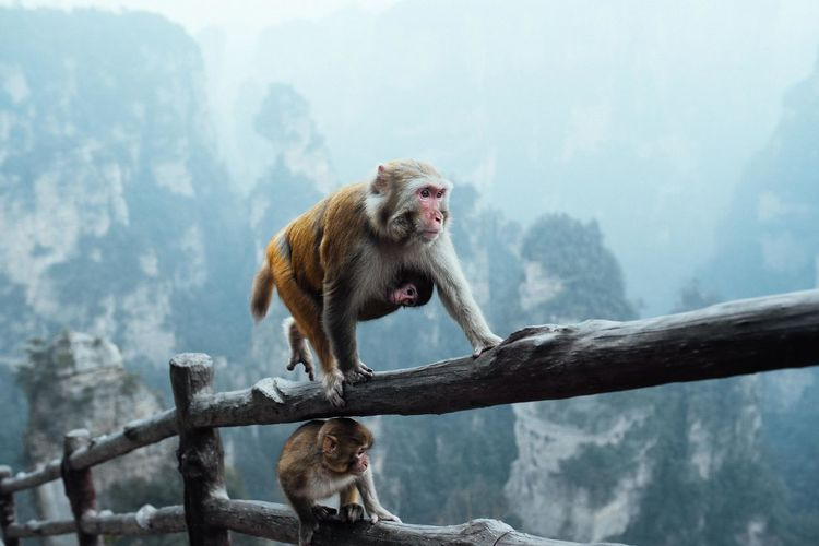 Monkey with infants on wooden fence during foggy weather