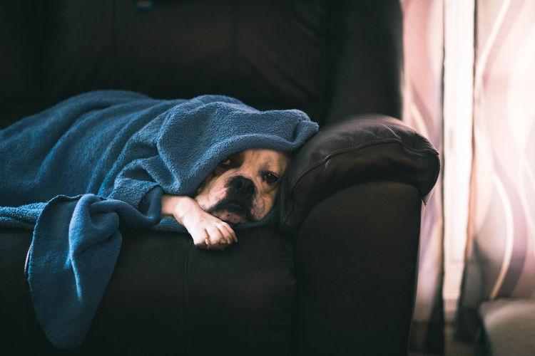sleepy pup Dog Bulldog EyeEm Selects Human Hand Curtain Men Close-up Sleeping Napping Pet Bed Laziness