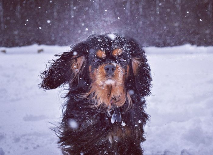 Winter is almost over Blackandtan Dog Snowfall Cavalierkingcharlesspaniel Determination Snow Winter Cold Temperature Weather Animal Themes Snowing One Animal Domestic Animals Focus On Foreground Close-up No People Snowflake Portrait Outdoors Pets