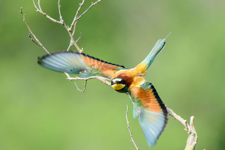 Coraciiformes Merops Apiaster Animal Themes Animal Wildlife Animals In The Wild Beauty In Nature Bee-eater Bird Branch Close-up Day Nature No People One Animal Outdoors Perching