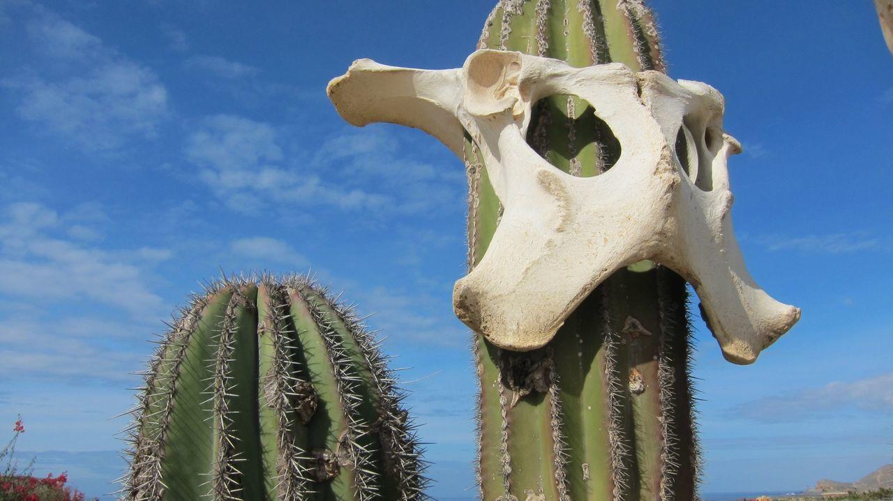 Close-up of animal bone on cactus against blue sky