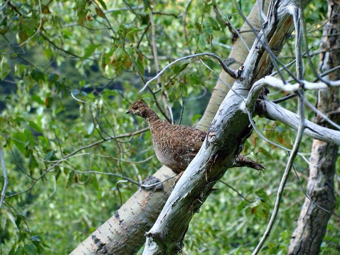 Tree Animal Wildlife Animals In The Wild Bird Animal Branch One Animal Day Nature Outdoors No People Animal Themes Forest Mammal Perching Grouse