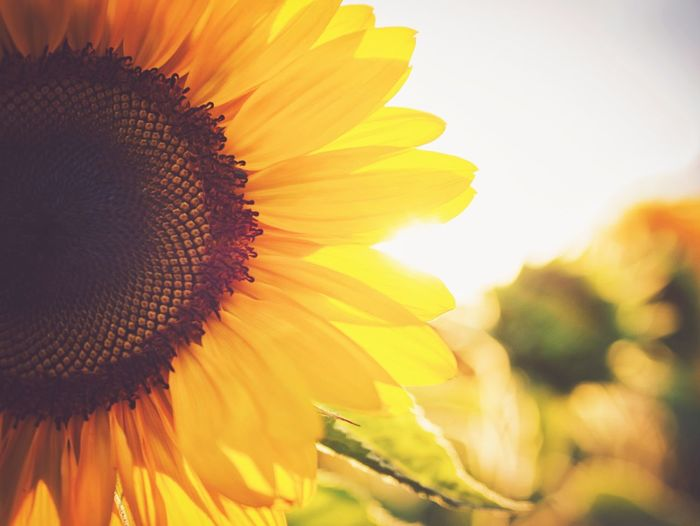 Sunflower Love Flowering Plant Flower Petal Flower Head Vulnerability  Fragility Beauty In Nature Growth Freshness Plant Yellow Sunflower Nature No People Blossom Outdoors