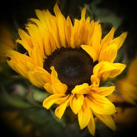 Sunflower is summer 43 Golden Moments Iphonephotography Eye4photography  Flowers, Nature And Beauty Flowers,Plants & Garden Beautifulflowerseveryday Beauty In Nature Beautiful Flowers Garden Nature