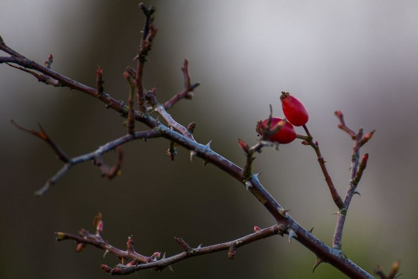 Botany Branch Forrest Gray Day. Red Red Berries Rose Bush Rose Hips Thorns Twig