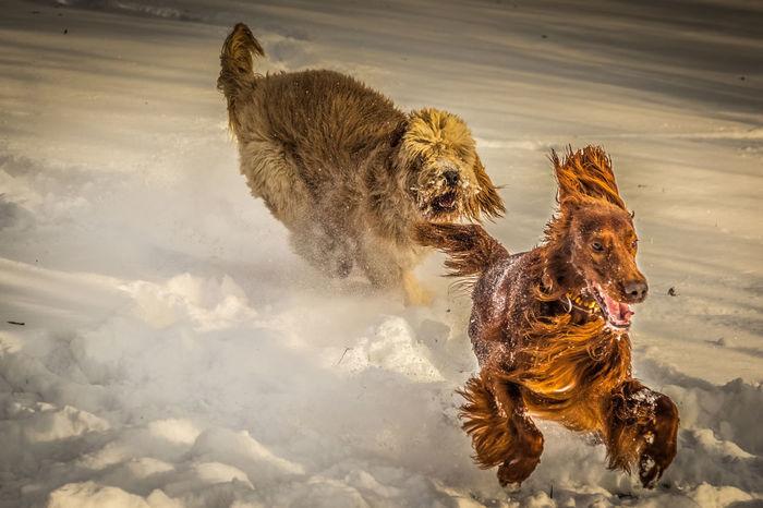 Catch me ... Action Dog Irish Setter Irishsetter Pet Running Snow Winter