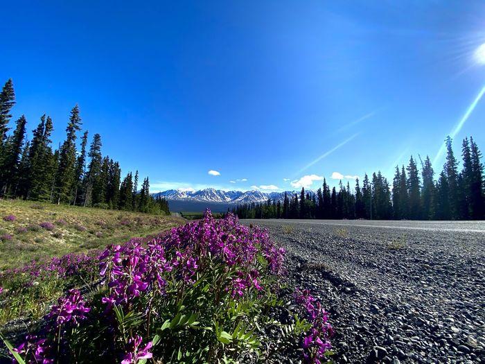 Purple flowering plants on land against blue sky