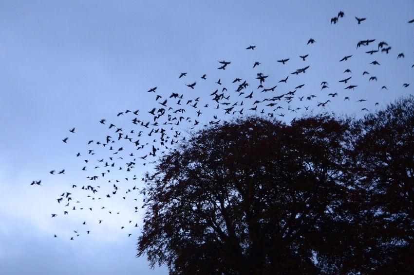 Birds Birds In Flight Corvids Early Morning Flock Of Birds Jackdaws Launch Take-off Trees In Silhouette