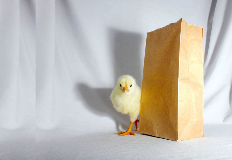 Baby Chicken By Paper Bag On Fabric