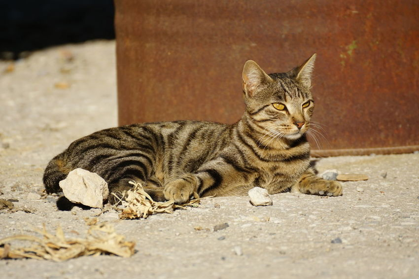 Stray Cat in Chersonissos Harbour, Crete, I Beautiful Chersonissos Free Sunlight Sunny Animal Themes Attentive Close-up Crete Day Domestic Animals Domestic Cat Feline Greece Independent  Lying Down Mammal No People Oil Barrel One Animal Outdoors Pets Stray Cat Tabby Cat Watching