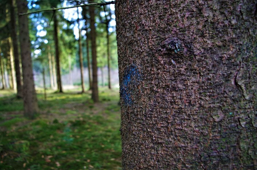 marked trees Marked Painted Tree Trees Abholzung Close-up Day Deforestation Focus On Foreground Forest Forest Photography Growth Nature No People Outdoors Textured  Tree Tree Trunk