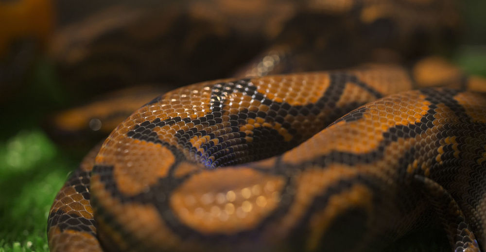 Animal Skin Animal Themes Animals In The Wild Close-up No People One Animal Reptile Snake