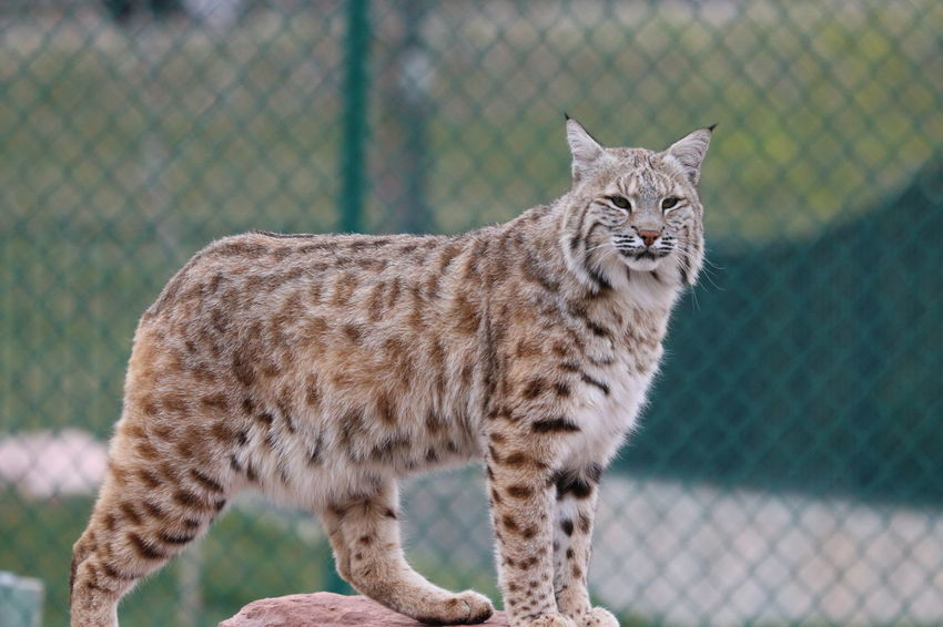 Bobcat Predatorinstinct Meow🐱