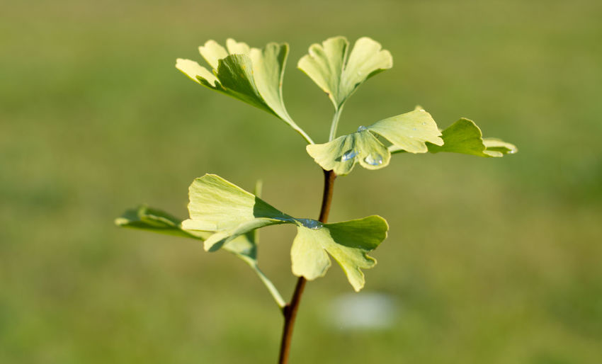 Beauty In Nature Blooming Blossom Botany Close-up Day Flower Focus On Foreground Fragility Freshness Ginkgo Green Green Color Growing Growth In Bloom Leaf Leaf Vein Nature New Life Outdoors Petal Plant Plant Life Springtime