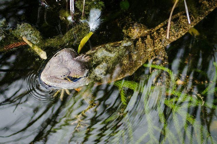 Swimming Reptile One Animal Nikon D5100  Reptile Water Lizard Greenery Water