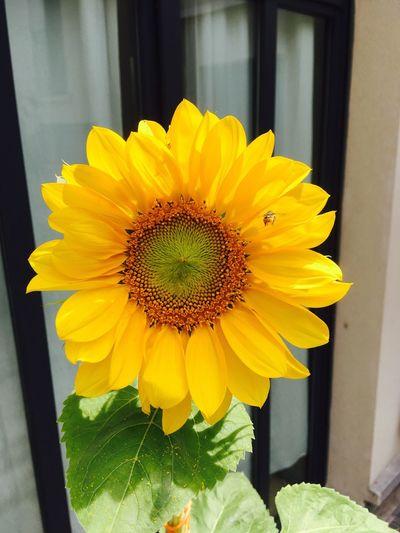Sommergefühle Girasol Abelha Paint The Town Yellow