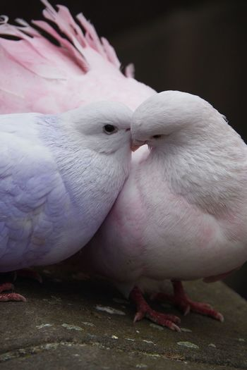 Animal Themes Animal Group Of Animals Bird Vertebrate Pink Color Two Animals No People Togetherness Close-up Animal Wildlife Domestic Animals Day Domestic Pets Animals In The Wild Outdoors Mammal Perching Animal Family Pigeon Love Valentine's Day  Couple Kissing