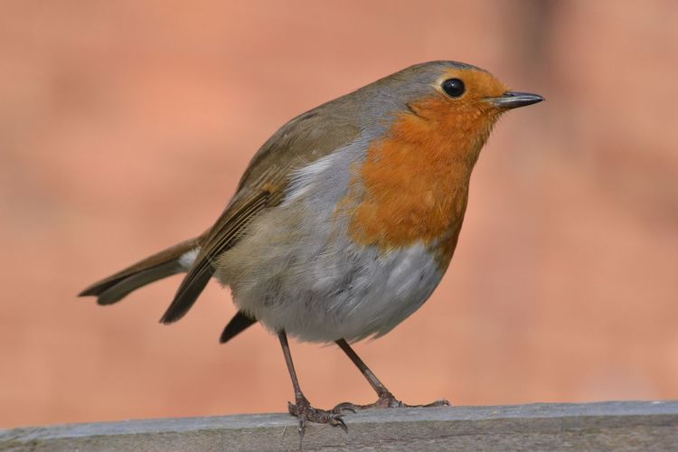 Robin Redbreast Bird Nature Robin Close-up