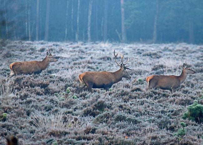 Hoge Veluwe Vorstellungsrunde Animals In The Wild Kudde Mammal No People Outdoors Stag