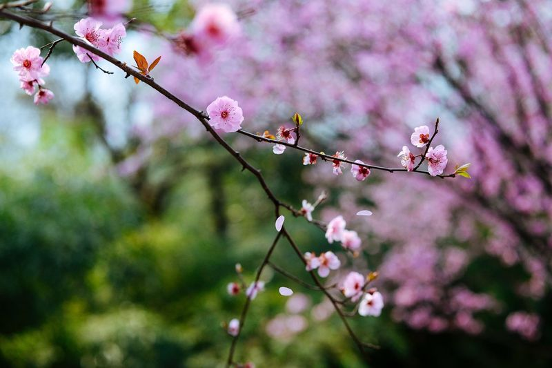 Close-up of pink flowers on twig