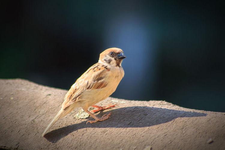 Close-up of a sparrow