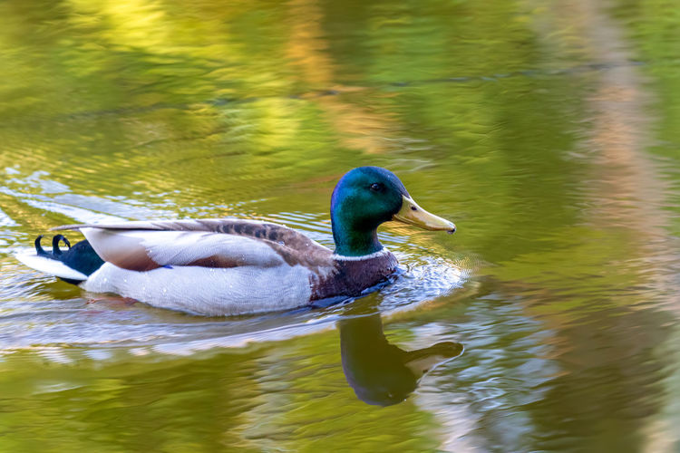 Water Bird Animal Wildlife Animals In The Wild Animal Vertebrate Animal Themes Lake Swimming One Animal Waterfront Duck Reflection Day Poultry No People Nature Water Bird Side View