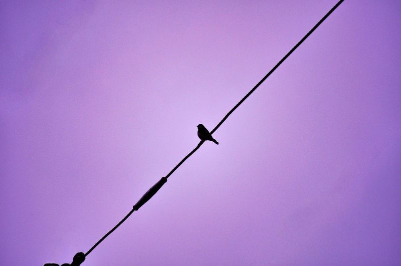 Bird on a wire Low Angle View Purple Pink Color Sky Nature No People Day Outdoors Clear Sky Bird Animal Animal Themes