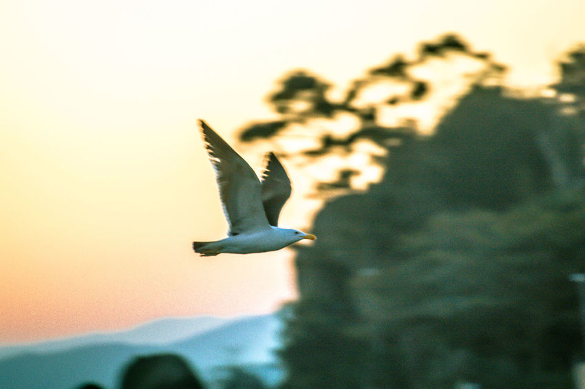 The bird's flight. EyeEm Selects EyeEm Gallery EyeEmNewHere Animal Animal Themes Animal Wildlife Animals In The Wild Beauty In Nature Bird Flying Focus On Foreground Mid-air Motion Nature No People One Animal Outdoors Plant Seagull Selective Focus Sky Spread Wings Sunset Tree Vertebrate