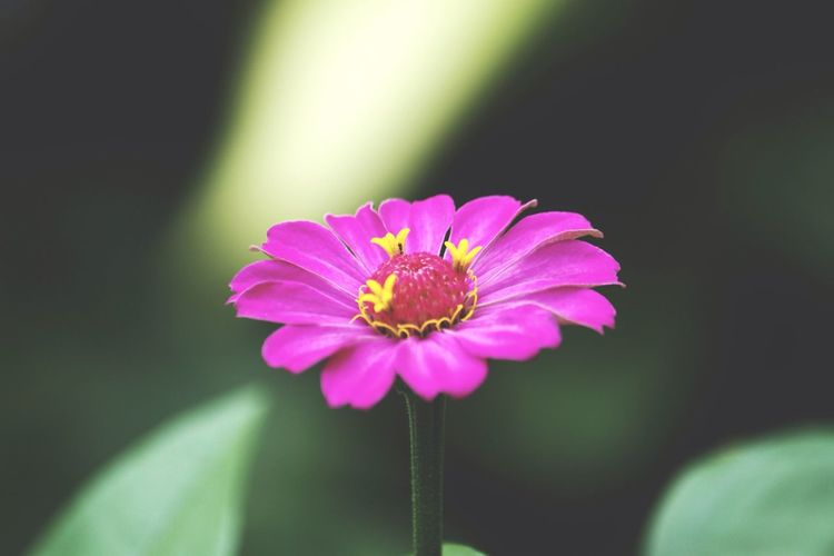 Flower Fragility Petal Flower Head Nature Beauty In Nature Growth Freshness Focus On Foreground Plant Blooming Pollen Day No People Zinnia  Close-up Outdoors