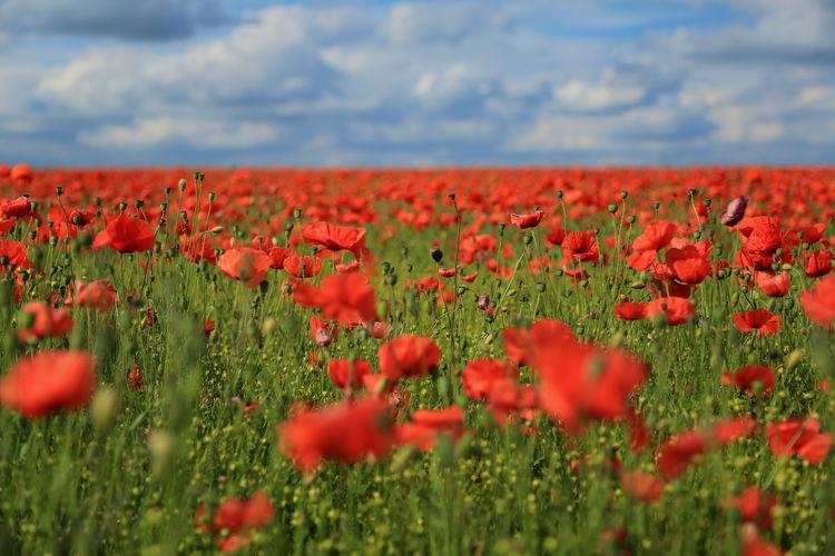Close-up of poppy flowers growing in field