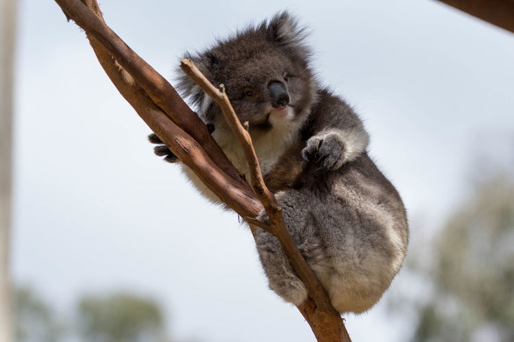 Low angle view of koala on branch