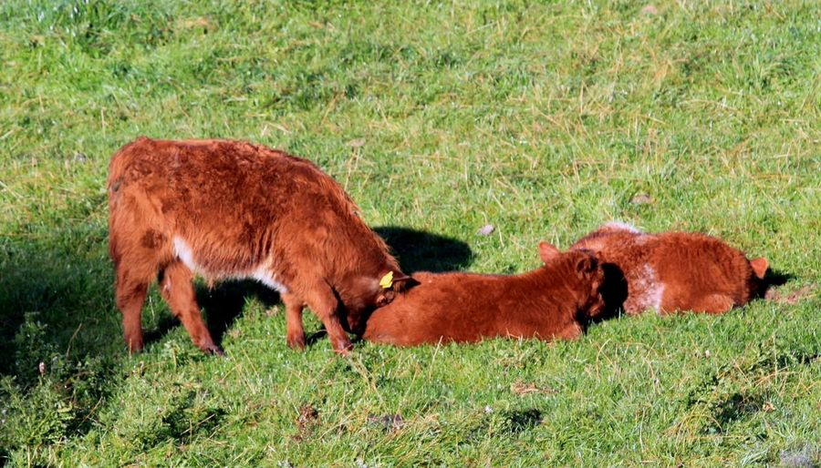 Come play with me! HighlandCows Calves Countryside Scottish Borders No People Playful Playtime Abbey St. Bathans Rural Landscape Country Life Morning Rural Enjoying Life