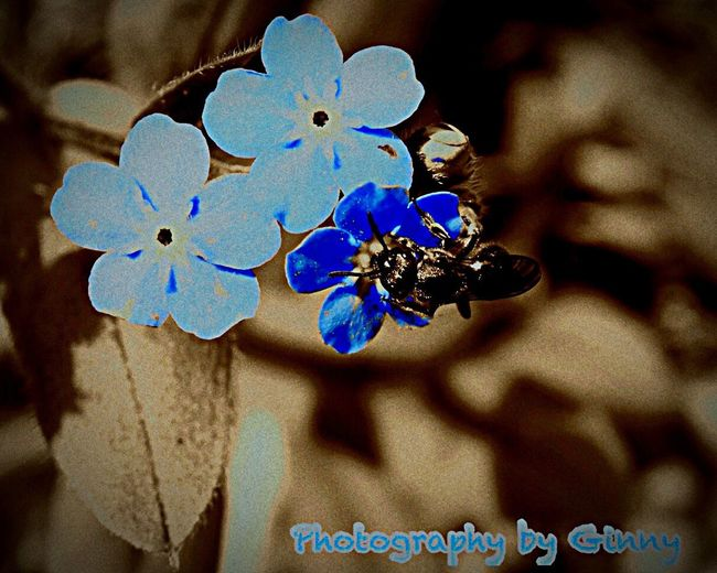 Tiny bee on a tiny blue flower. Insect Bee Flower Blue Close-up Beauty In Nature No People One Animal Macro Photography