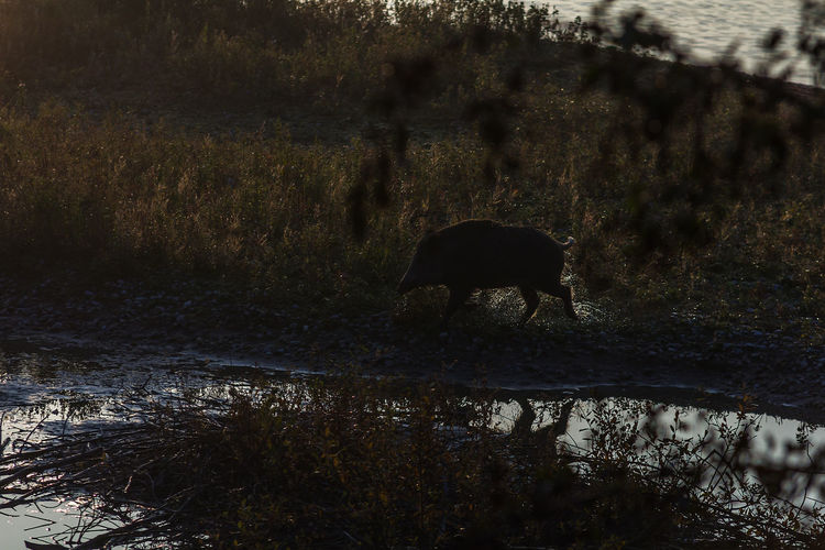 Animal Themes Animals In The Wild Day Domestic Animals Field Forest Full Length Grass Grazing Mammal Nature No People One Animal Outdoors River Tree Water Wild Boar